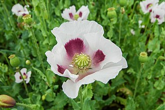 Papaver somniferum - Czech blue poppy flower