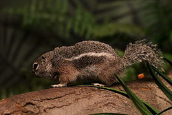 Антилоповый суслик Харриса (Ammospermophilus harrisii), Harris's Antelope Squirrel, Harris-Antilopenziesel, Bronx Zoo (New York) 03.04.2012.jpg