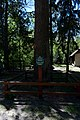 Віковий дуб черещатий DSC 0522.jpg