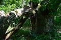Дуб Б.Хмельницького, Виграївське лісництво.jpg