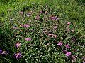 Ладанник критский - Cistus creticus - Rock Rose - Лавдан (Памуклийка, Скална роза) - Kretische Zistrose (26914282584).jpg