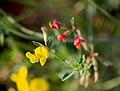 Лядвенец рогатый Lotus corniculatus Common bird's-foot trefoil Обикновеният звездан Gewöhnlicher Hornklee (31076788653).jpg