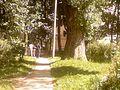 Многовеквое дерево 2 - panoramio.jpg