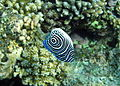 Риби в червоному морі3.jpg