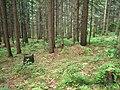 """Смерековий ліс на """"Стежці Довбуша"""".jpg"""
