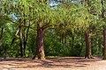 Ствол и ветви Лиственницы в парке.jpg