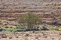 עולם הצומח, הר רמון.jpg