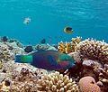 سمكة البغبغان بمحمية رأس محمد.jpg