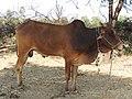 लाल कंधारी Lal Kandhari.jpg