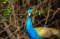 ముగ్ధ మయూరం...The Peacock.jpg