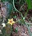 催乳藤 Heterostemma oblongifolium -廣東英德亞婆田白水寨 Guangdong, China- (40984935392).jpg