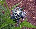 光亮水甘草 Amsonia illustris -比利時 Ghent University Botanical Garden, Belgium- (9200879238).jpg