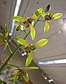報歲羅漢彩荷 Cymbidium sinense 'Luohan Colourful Lotus' -香港沙田國蘭展 Shatin Orchid Show, Hong Kong- (12712612145).jpg