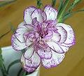 康乃馨(香石竹) Dianthus caryophyllus -香港青衣市鎮 Tsing Yi Town, Hong Kong- (9252391619).jpg