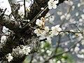 梅 Prunus mume - panoramio.jpg