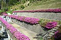樹木葬、自然葬の高照寺 墓苑オオムラサキツツジ.JPG