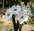 沙梨-早生新水 Pyrus pyrifolia -上海辰山植物園 Shanghai Chenshan Botanical Garden- (17082220537).jpg
