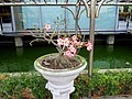 沙漠玫瑰 Adenium obesum - panoramio.jpg