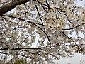 漕宝路七号桥头的樱花树 4.jpg