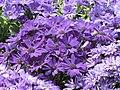 瓜葉菊(富貴菊) Pericallis hybrida (Senecio cruentus) -香港花展 Hong Kong Flower Show- (9200926546).jpg