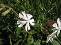 白花繩子草 Silene latifolia alba -斯洛文尼亞 Lake Bled, Slovenia- (9229857740).jpg
