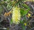 紅千層屬 Callistemon pallidus -澳洲塔斯曼尼亞 Tasman Peninsula, Tasmania- (10867789455).jpg