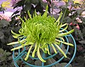 綠絲菊 Chrysanthemum morifolium 'Green Fine Threads' -台北士林官邸 Taipei, Taiwan- (12049302375).jpg
