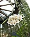 線葉毬蘭 Hoya linearis -香港公園 Hong Kong Park- (29886352712).jpg