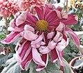 菊花(寬帶型)-紫如意 Chrysanthemum morifolium Broad-ribbon-series -香港圓玄學院 Hong Kong Yuen Yuen Institute- (9200949988).jpg