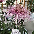 菊花-飛舞型 Chrysanthemum morifolium Dancing-tubular-series -上海共青森林公園 Shanghai, China- (9200949558).jpg