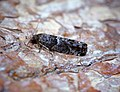 -1205- Spilonota ocellana (42199411480).jpg