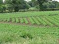 -2020-06-09 Potato feild, Metton, Cromer.JPG