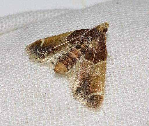 - 5510 – Pyralis farinalis – Meal Moth (29457314357)