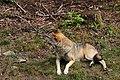 00 2619 Nationalpark Bayerischer Wald - Wolf-Freigelände.jpg