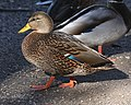 027 - MALLARD (Northern x Mexican hybrid male) (12-5-2016) farmington, san juan co, new mexico -b(3) (30879047424).jpg