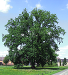 059 pedunculate oak tree.png