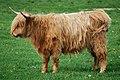 11-05-30 018 DNFS Young Highland bull, Denmark.jpg