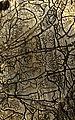 1935. Orthotomicus orantus Sw. work in bark of Pinus ponderosa. (40047951421).jpg