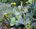 2-opuntia-cacanapa.jpg