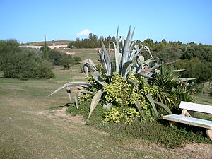 Yuma Desert - Agave deserti, a plant native to the Yuma Desert