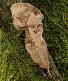2008-09-06 Hapalopilus nidulans 2.jpg