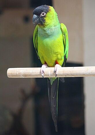 Nanday parakeet - In Strasbourg, Parc de l'Orangerie