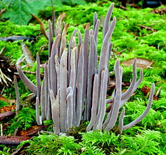2012-01-05 Alloclavaria purpurea (Fr.) Dentinger & D.J. McLaughlin 193134.jpg