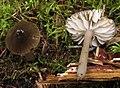 2012-09-21 Hygrocybe irrigata (Pers.) Bon 268485.jpg