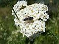 20120526Achillea millefolium1.jpg