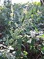 20120726Teucrium scorodonia1.jpg