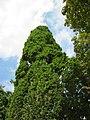 20120915Quercus robur Fastigiata1.jpg