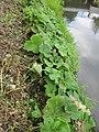 20120922Petasites hybridus2.jpg