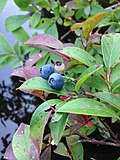 2013-08-25 14 02 03 Closeup of blueberries along the shore of Spring Lake at 88 Lake Road in Berlin, New York.jpg