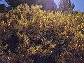 2013-09-18 14 21 29 Willows along the Favre Lake Trail in Kleckner Canyon, Nevada.jpg